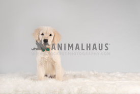 golden retriever puppy wearing green collar with bow