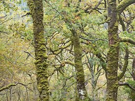 Ariundle Oakwood National Nature Reserve, Sessile Oak woodland in the Sunart region of the Scottish Highlands.  These ancient...
