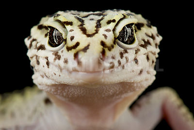 Iranian fat tailed gecko (Eublepharis angramainyu)
