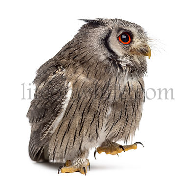 Northern white-faced owl walking - Ptilopsis leucotis (1 year old) in front of a white background