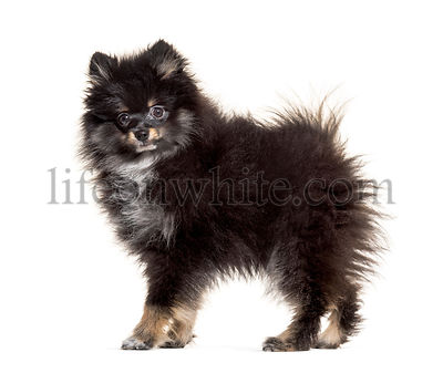 Side view of a Pomeranian standing, isolated on white
