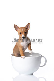 Podengo Puppy in large white coffee cup