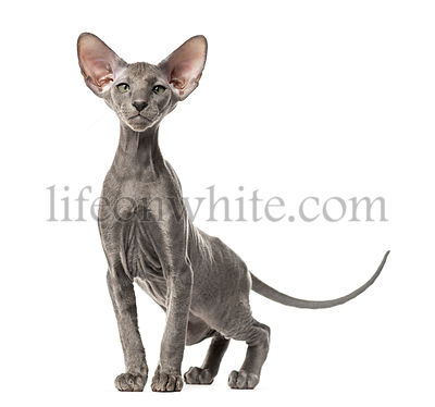 Young peterbald cat, standing, isolated on white
