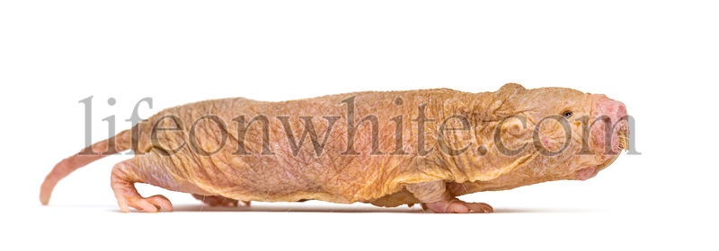 Side view of a Naked Mole-rat walking, hairless rat, isolated on wihte