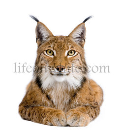 Eurasian Lynx - Lynx lynx (5 years old)