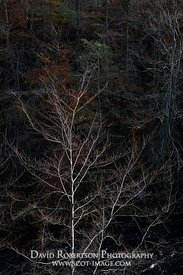 Prints & Stock Image - Bare trees highlighted against dark background, Darnaway, Moray, Scotland.