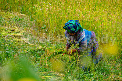 VIETNAM, BAC HA, RIZIERES EN TERRASSES//VIETNAM, BAC HA, TERRACE RICE FIELDS