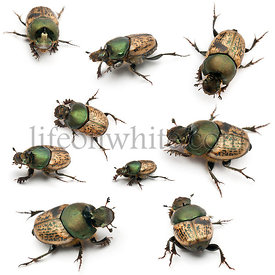 Scarab beetles - Onthophagus Sp, in front of white background