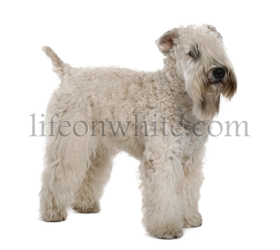 Soft-coated Wheaten Terrier, 1 year old, standing in front of white background
