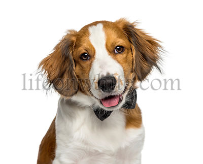 Kooikerhondje, 4 months old, in front of white background