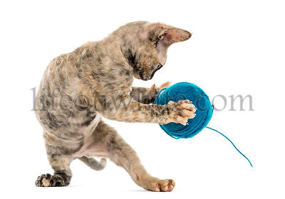 Devon rex cat with a wool ball isolated on white