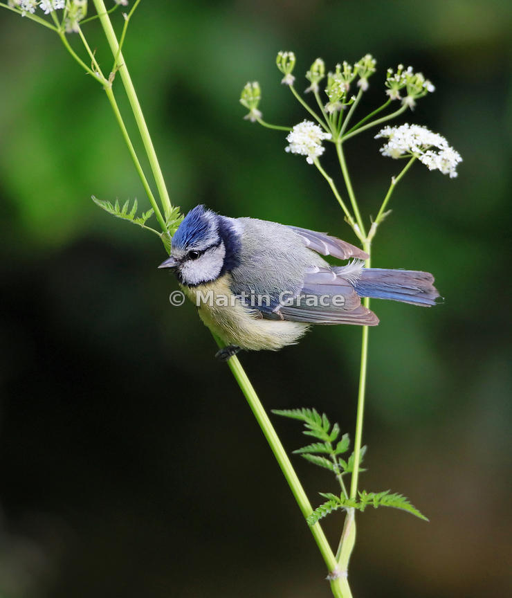 European Blue Tit (Cyanistes caeruleus) perching on Cow Parsley (Anthriscus sylvestris) by the garden pond, Lake District Nat...