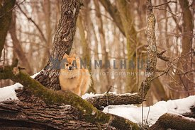 Orange pomeranian standing on wood branch