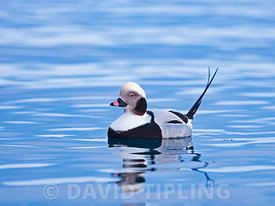 Long-tailed Duck  Clangula hyemalis male, Varanger, Arctic Norway