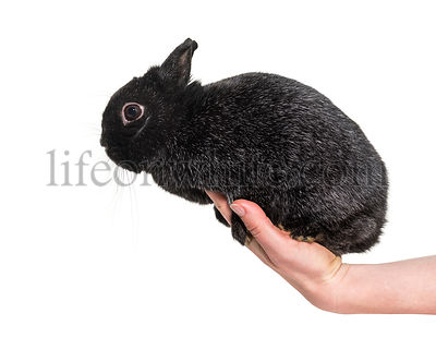 Dwarf rabbit haled in hand against white background