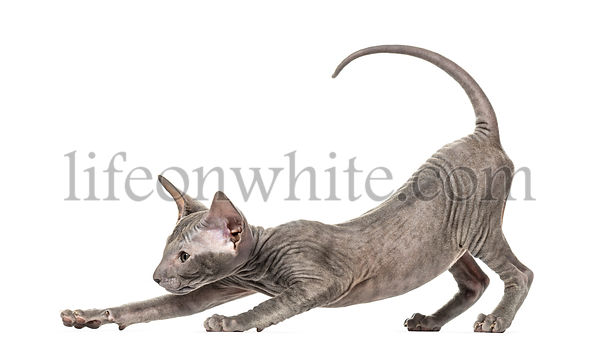 Peterbald kitten stretching in a funny position, yoga cat, 3 mouth old