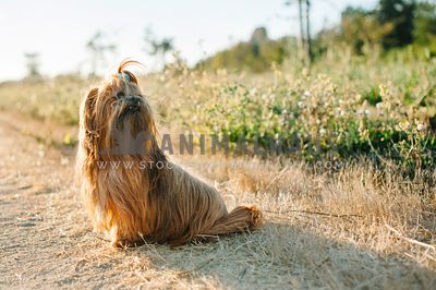 A shih tzu with a ponytail sitting on the side of the path