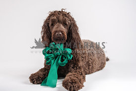 large chocolate doodle wearing large green bow looking serious