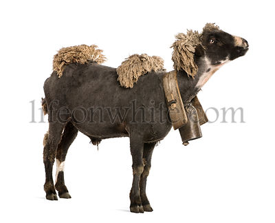 Crossbreed sheep wearing bell in front of white background