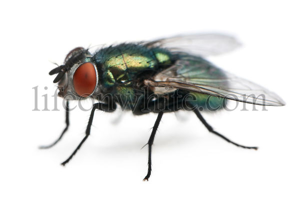 Lucilia caesar, blow-fly, in front of white background