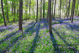 Beech forest with bluebells (lat. fagus sylvatica) - Europe, Germany, North Rhine-Westphalia, Cologne, Düren, Linnich, Dovere...
