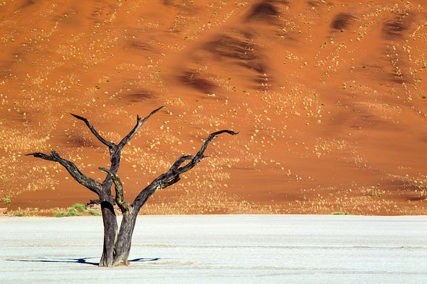 Like a lone dancer, an ancient dead acacia tree stands in the barren and dry hot parched earth of Deadvlei in the Namib desert.