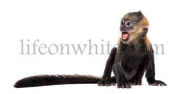Baby Francois Langur (4 months) screaming
