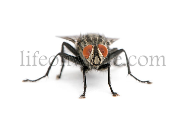 Portrait of flesh fly, Diptera, in front of white background, studio shot