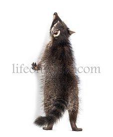 Raccoon getting to know on hind legs, looking up, isolated