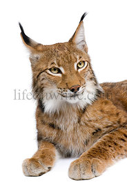 Eurasian Lynx, lynx lynx, 5 years old, sitting, studio shot