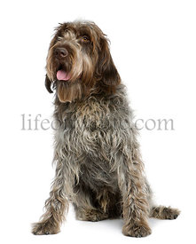Wirehaired Pointing Griffon, 11 months old, sitting