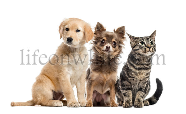Group of two puppies and a European Shorthair