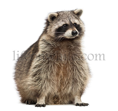 Raccoon, Procyon Iotor, sitting, isolated on white