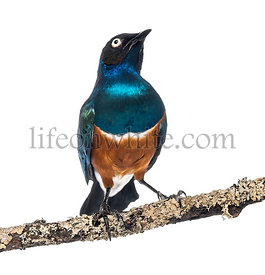 Superb Starling on a branch - Lamprotornis superbus - isolated on white