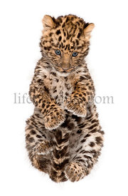 Amur leopard cub, Panthera pardus orientalis, 9 weeks old, sitting against white background