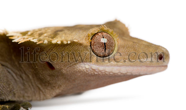 New Caledonian Crested Gecko, Rhacodactylus ciliatus, in front of white background