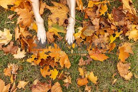 Dog paws and yellow maple leaves