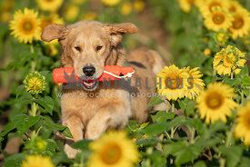golden retriever running through sunflower field with bumper in mouth