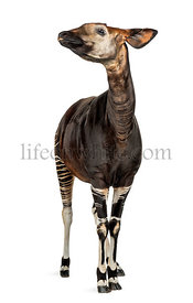 Okapi standing, looking up, Okapia johnstoni, isolated on white