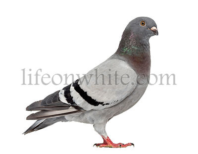 Homing pigeon isolated on white