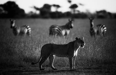 48055-Lioness_with_three_zebras_Laurent_Baheux