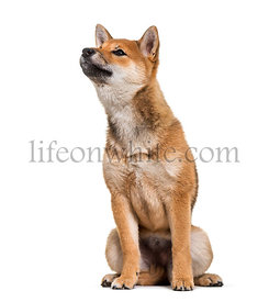 Shiba Inu dog sitting against white background