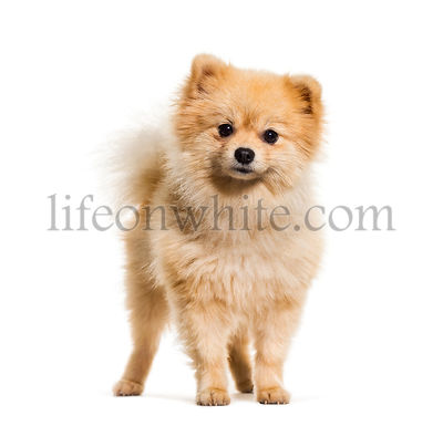 Pomeranian dog standing against white background