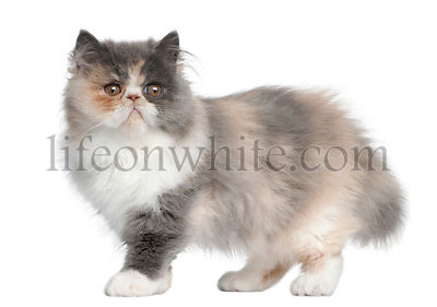 Persian Kitten, 3 months old, standing in front of white background