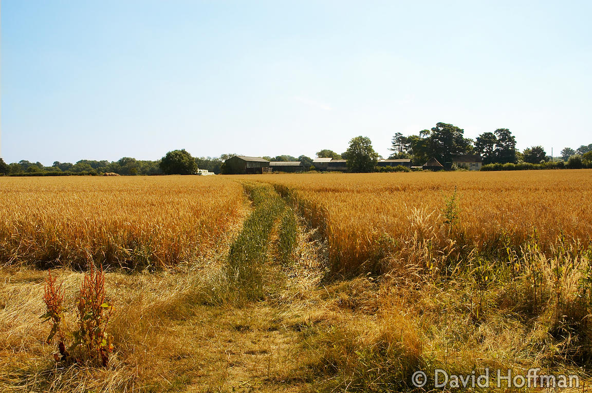 Track through wheat growing on farmland in Kent.