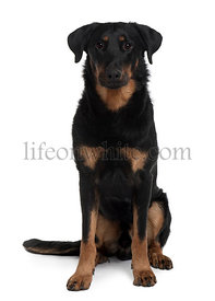 Beauceron, 1 Year Old, sitting in front of white background