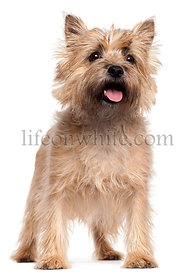 Cairn Terrier, 4 years old, standing in front of white background
