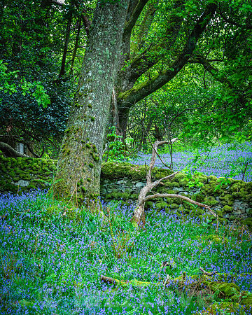 Bluebells blooming in Scottish woodland in springtime.