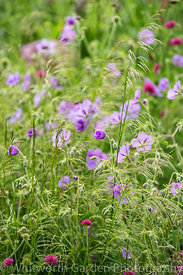 Geranium 'Brookside' with Deschampsia cespitosa and Knautia macedonica in the Perennial Meadow at Scampston Hall Walled Garde...