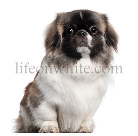 Pekingese, 9 months old, sitting in front of white background